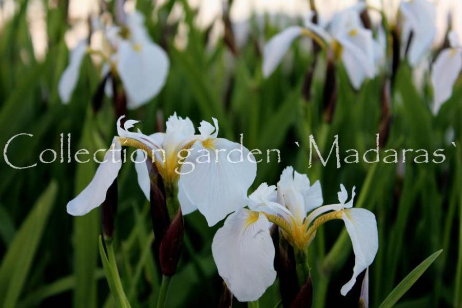 Iris setosa `Alba`