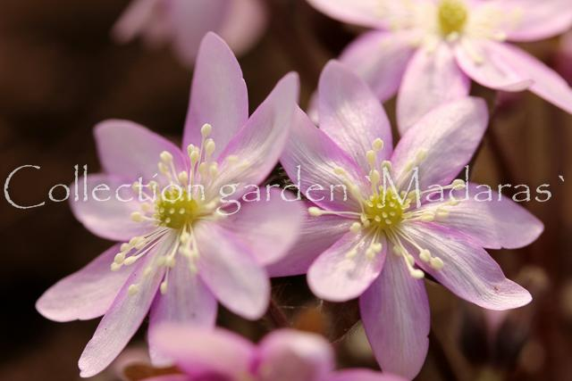 Hepatica nobilis `Debesmanna` SOLD OUT