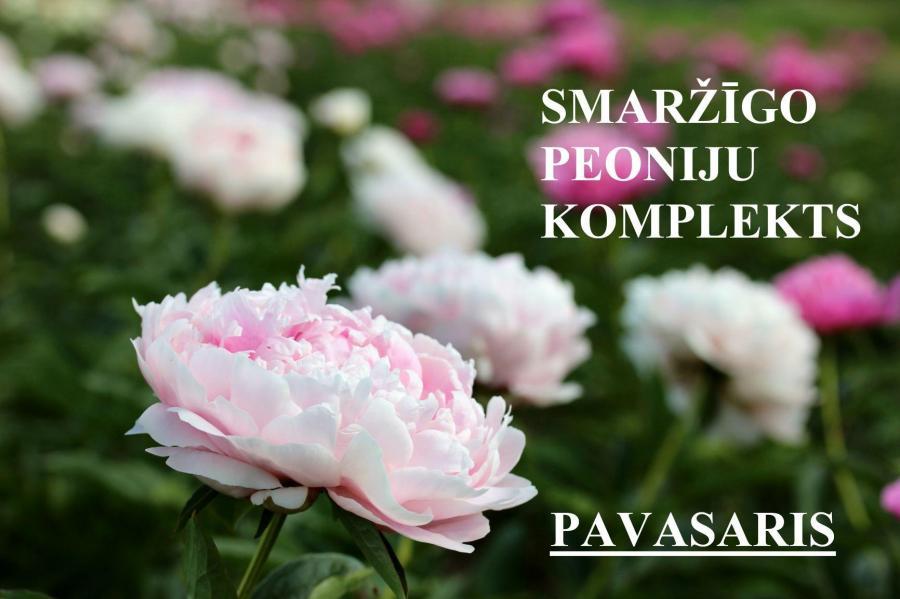 5 varieties of peonies-  Duchesse de Nemours, Sarah Bernhardt, White Sands, Gardenia, Paul M. Wild, SPRING, on site in the nursery