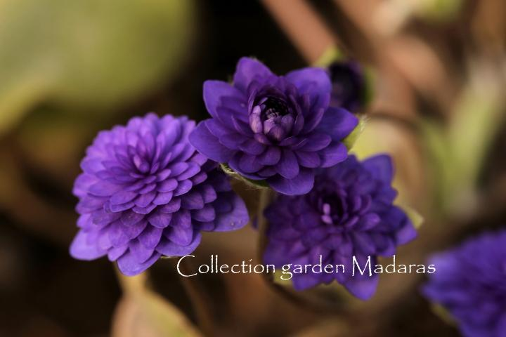 Hepatica nobilis `Ciecere` SOLD OUT