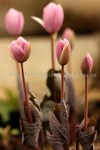 Sanguinaria canadensis `Pink Form`