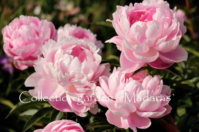 Paeonia 'Mrs. Franklin D. Roosevelt` SOLD OUT